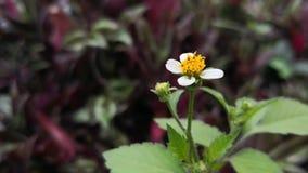Λουλούδι pilosa Bidens με τα λευκά πέταλα και το κίτρινο κέντρο
