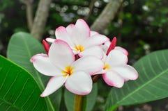 Λουλούδι Plumeria ή δέντρο παγοδών Στοκ Εικόνες