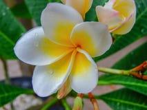Λουλούδι Plumeria κίτρινο και άσπρο Στοκ Εικόνες