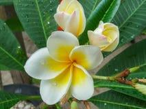 Λουλούδι Plumeria κίτρινο και άσπρο Στοκ εικόνες με δικαίωμα ελεύθερης χρήσης