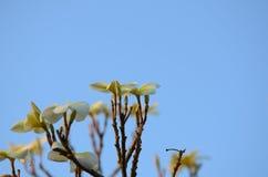 Λουλούδι Plumeria λευκό λουλουδιών Ζωηρόχρωμα λουλούδια με τις πτώσεις του νερού μετά από τη βροχή Ρόδινη ηλιοφάνεια λουλουδιών α Στοκ Εικόνες