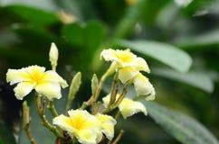Λουλούδι Plumeria λευκό λουλουδιών Ζωηρόχρωμα λουλούδια με τις πτώσεις του νερού μετά από τη βροχή Ρόδινη ηλιοφάνεια λουλουδιών α Στοκ Εικόνα