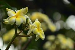 Λουλούδι Plumeria λευκό λουλουδιών Ζωηρόχρωμα λουλούδια με τις πτώσεις του νερού μετά από τη βροχή Ρόδινη ηλιοφάνεια λουλουδιών α Στοκ Φωτογραφίες