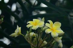 Λουλούδι Plumeria λευκό λουλουδιών Ζωηρόχρωμα λουλούδια με τις πτώσεις του νερού μετά από τη βροχή Ρόδινη ηλιοφάνεια λουλουδιών α Στοκ φωτογραφία με δικαίωμα ελεύθερης χρήσης