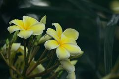 Λουλούδι Plumeria λευκό λουλουδιών Ζωηρόχρωμα λουλούδια με τις πτώσεις του νερού μετά από τη βροχή Ρόδινη ηλιοφάνεια λουλουδιών α Στοκ εικόνα με δικαίωμα ελεύθερης χρήσης