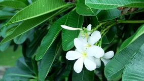 Λουλούδι Plumeria απόθεμα βίντεο