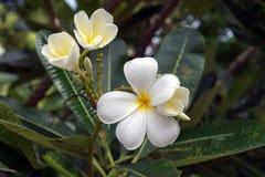 Λουλούδι Plumeria με το πράσινο υπόβαθρο φύσης Στοκ εικόνες με δικαίωμα ελεύθερης χρήσης