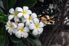 Λουλούδι Plumeria με το πράσινο υπόβαθρο φύσης Στοκ φωτογραφίες με δικαίωμα ελεύθερης χρήσης