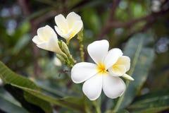 Λουλούδι Plumeria με το πράσινο υπόβαθρο φύσης Στοκ φωτογραφία με δικαίωμα ελεύθερης χρήσης