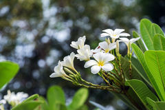 Λουλούδι Plumeria με το πράσινο υπόβαθρο φύσης Στοκ Εικόνες