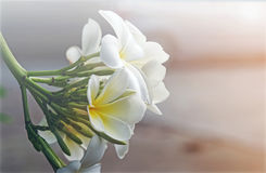 Λουλούδι Plumeria με το πράσινο υπόβαθρο φύσης Στοκ εικόνα με δικαίωμα ελεύθερης χρήσης