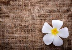 Λουλούδι Plumeria με το σάκο Στοκ Εικόνα