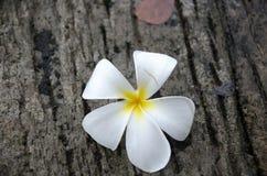 Λουλούδι Plumeria με το υπόβαθρο φύσης, λουλούδι Plumeria στο γ Στοκ εικόνα με δικαίωμα ελεύθερης χρήσης