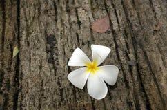 Λουλούδι Plumeria με το υπόβαθρο φύσης, λουλούδι Plumeria στο γ Στοκ φωτογραφίες με δικαίωμα ελεύθερης χρήσης