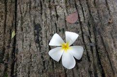 Λουλούδι Plumeria με το υπόβαθρο φύσης, λουλούδι Plumeria στο γ Στοκ Εικόνα