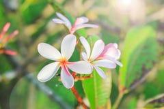 Λουλούδι Plumeria με το υπόβαθρο φύσης Στοκ Εικόνες