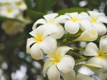 Λουλούδι Plumeria - λουλούδι plumeria που ανθίζει στο δέντρο Στοκ Εικόνα
