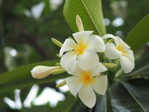 Λουλούδι Plumeria - λουλούδι plumeria που ανθίζει στο πράσινο υπόβαθρο φύλλων δέντρων Στοκ φωτογραφία με δικαίωμα ελεύθερης χρήσης