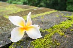 Λουλούδι Plumeria που αφορά το έδαφος Στοκ Φωτογραφία