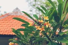 Λουλούδι Plumeria σε ένα δέντρο plumeria frangipani λουλουδιών ανασκόπησης Νησί του Μπαλί Άσπρο και κίτρινο Plumeria Στοκ φωτογραφίες με δικαίωμα ελεύθερης χρήσης