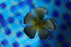 Λουλούδι Plumeria σε μια μπλε επιφάνεια νερού Στοκ Φωτογραφία