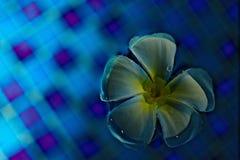 Λουλούδι Plumeria σε μια μπλε επιφάνεια νερού Στοκ Φωτογραφίες