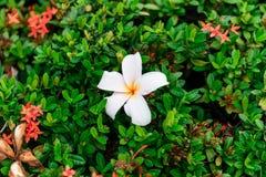 Λουλούδι Plumeria στα κόκκινα λουλούδια ακίδων στοκ εικόνα με δικαίωμα ελεύθερης χρήσης