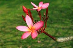 Λουλούδι Plumeria στην κινηματογράφηση σε πρώτο πλάνο κήπων Στοκ Εικόνες