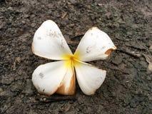 Λουλούδι Plumeria στο έδαφος Στοκ Εικόνες