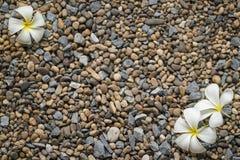 Λουλούδι Plumeria στο βράχο ως υπόβαθρο Στοκ Φωτογραφία