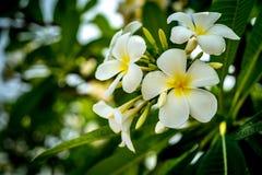Λουλούδι Plumeria στο θολωμένο υπόβαθρο φύλλων Στοκ φωτογραφία με δικαίωμα ελεύθερης χρήσης