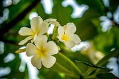 Λουλούδι Plumeria στο θολωμένο υπόβαθρο φύλλων Στοκ Φωτογραφίες