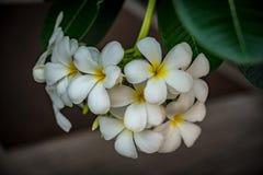 Λουλούδι Plumeria στο θολωμένο υπόβαθρο φύλλων Στοκ Εικόνα