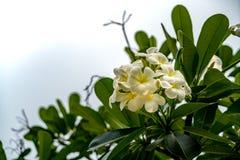 Λουλούδι Plumeria στο θολωμένο υπόβαθρο φύλλων Στοκ Φωτογραφία