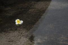 Λουλούδι Plumeria στο νερό και την αντανάκλαση Στοκ εικόνα με δικαίωμα ελεύθερης χρήσης