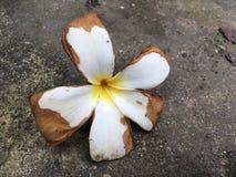 Λουλούδι Plumeria στο πάτωμα τσιμέντου Στοκ φωτογραφία με δικαίωμα ελεύθερης χρήσης