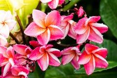 Λουλούδι Plumeria στο υπόβαθρο άποψης κινηματογραφήσεων σε πρώτο πλάνο κήπων Στοκ φωτογραφία με δικαίωμα ελεύθερης χρήσης