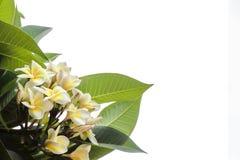 Λουλούδι Plumeria Champa Frangipani στο άσπρο υπόβαθρο Στοκ Φωτογραφίες