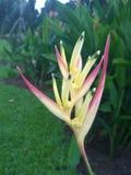 Λουλούδι Psittacorum Heliconia στοκ φωτογραφία