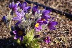 Λουλούδι Pulsatilla, Anemoneae Pasque Στοκ Φωτογραφία