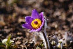 Λουλούδι Pulsatilla, Anemoneae Pasque Στοκ Εικόνες