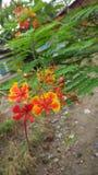 Λουλούδι Radhachura Στοκ φωτογραφία με δικαίωμα ελεύθερης χρήσης
