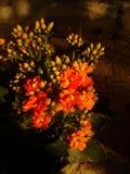 λουλούδι REF του kalanchoe στοκ φωτογραφίες
