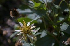 Λουλούδι Rudbeckia Κίτρινο λουλούδι κήπων 1 ζωή ακόμα Ξηρό χορτάρι Φθινόπωρο Στοκ Εικόνες