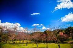 Λουλούδι Sakura στο βουνό με τον ουρανό στην ανασκόπηση στοκ εικόνα