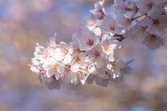 Λουλούδι Sakura Στοκ Φωτογραφίες