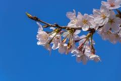 Λουλούδι Sakura Στοκ Εικόνα