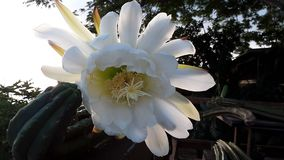Λουλούδι SAN Pedro στοκ εικόνες