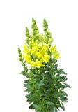 λουλούδι snapdragon κίτρινο Στοκ φωτογραφία με δικαίωμα ελεύθερης χρήσης