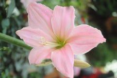 Λουλούδι Stargazer Στοκ Φωτογραφία